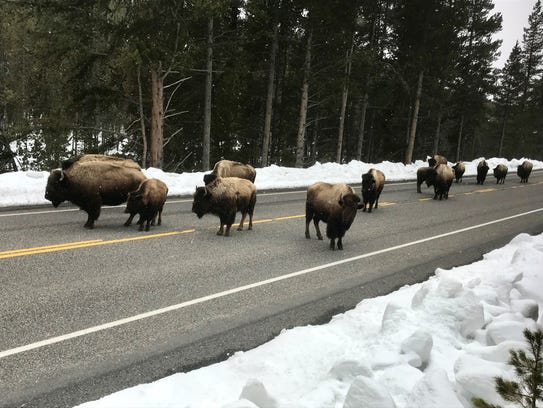 A portion of a herd of bison in yellowstone National