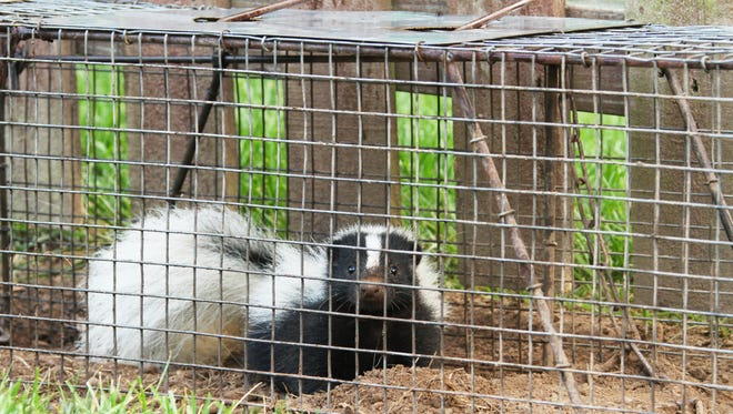 Skunks in Salem are trapped and removed by licensed Wildlife Control Operators at the request of property owners.