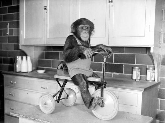 "This circa 1932 photo shows Jimmy as a young chimp ""riding"" a three-wheeled pedal cart."