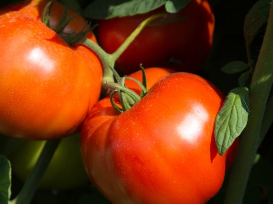 The Rutgers 250 tomato seeds can be purchased through the New Jersey Agricultural Experiment Station's website.