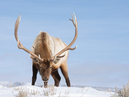 An old bull elk takes a moment to look at photographer Donald Jones, who wrote one of the toughest things about photographic large animals in winter is that they pretty much eat and bed down to conserve energy so an action photo is hard to come by.