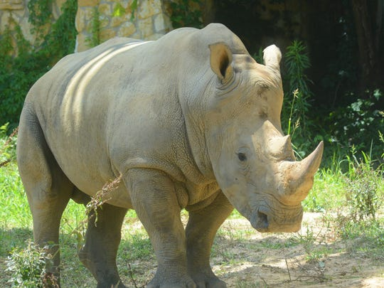 """Big Mike,"" an African white rhino, takes a stroll"