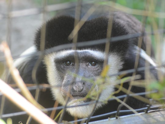 """Juba"", an Eastern Black and White Colobus monkey,"
