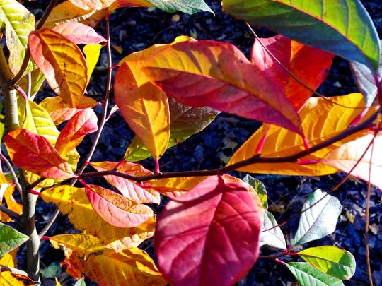 Blackgum has bright red leaves in autumn.