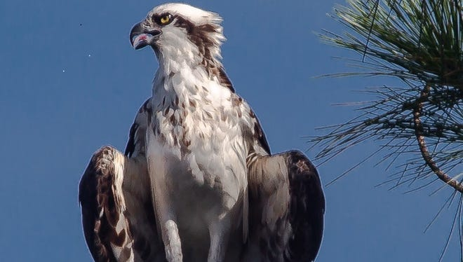 Aproud Osprey sat on one of the highest limbs of a pine tree andJupiter's Richard Applenoticed. He shared this photo.