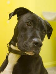 Cooper, a 1-year-old Great Dane mix, and fellow temporary residents of the Humane Society of Livingston County are hopeful to find good homes and will benefit from the annual Fur Ball.