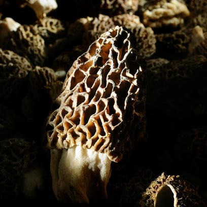 Want to hit the mother lode of morels? Listen and learn