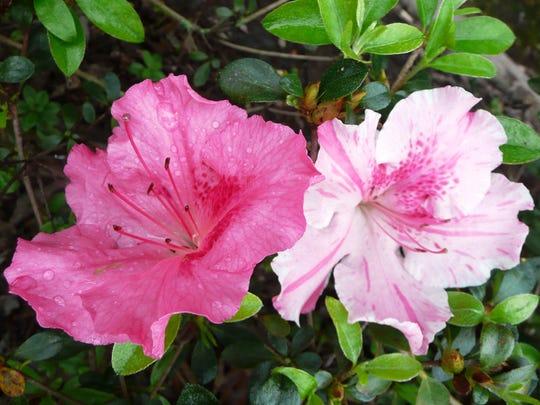 Conversation Piece is a Robin Hill azalea variety that is a Louisiana Super Plant.