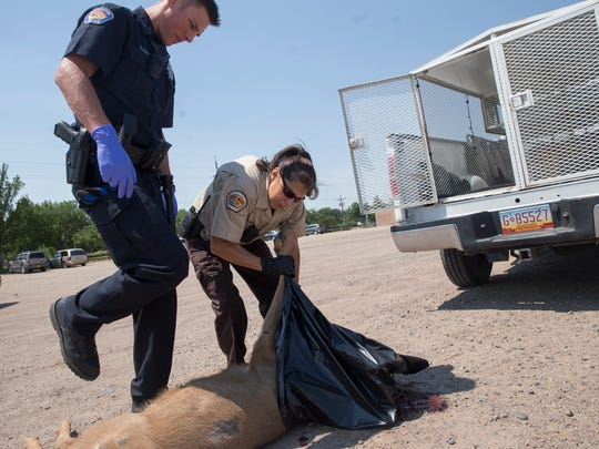 Farmington Police Officer Ethan Graff and animal control park ranger Rebecca Maynard prepare to load the body of a mule deer into a truck Thursday at Berg Park in Farmington.