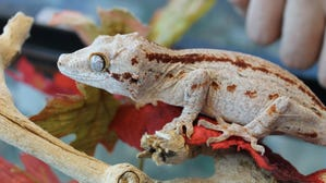 Nearly 100 geckos looking for a home