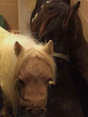 Snuggles and Bella, miniature horses with dwarfism,