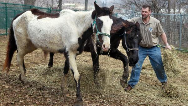 Two emaciated horses seized from Larry Browning's Pendleton County, Ky., farm last April.