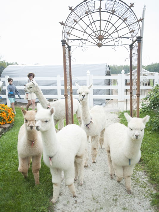 636099757778473414-9-26-15-MAN-Alpaca-Day-0003.jpg