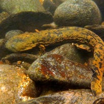 Hellbenders to get some help from their friends