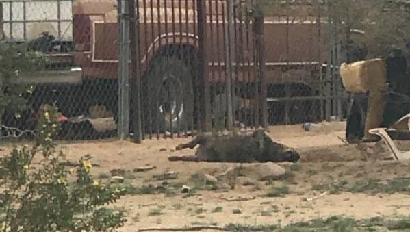 A dead dog is seen on the property at the 17000 block of North Stonebluff Road in Maricopa.