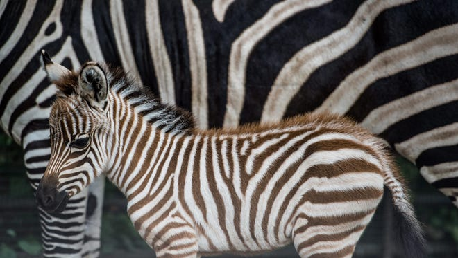 A newly born Zebra baby stands next to her mother at the zoo in Prague, Czech Republic.