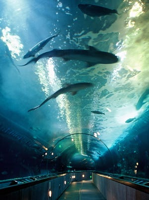 Aquarium of the Bay, where species of marine animals from San Francisco Bay waters swim high above your head.