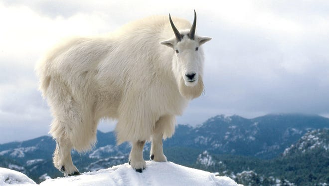 A mountain goat pokes his way through the freshly fallen snow near Mount Rushmore. A new study has found that goats are smarter than previously perceived.