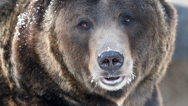 File-This Dec. 5, 2014 file photo shows a grizzly bear roams his pen, at Denver Zoo.