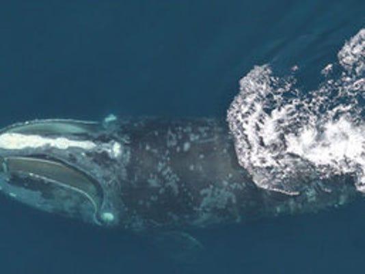 636524957978173368-right-whale.jpg