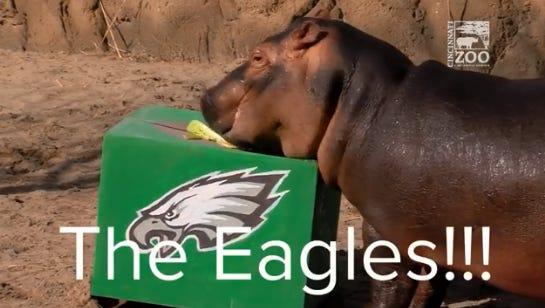 Fiona the hippo chooses the Philadelphia Eagles to win Super Bowl LII.
