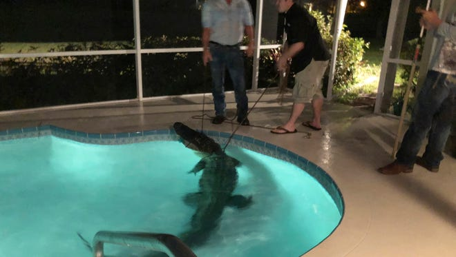 In this photo provided by Sarasota County Sheriff's Office, authorities remove an alligator from a pool in Sarasota, Fla. Authorities received a call about the alligator Friday, March 30, 2018. (Sarasota County Sheriff's Office via AP)