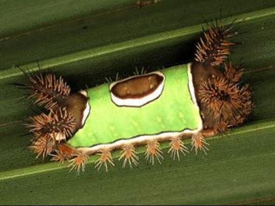 File: Saddleback caterpillar.