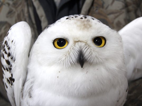 636502486222667262-Snowy-owl-14.jpg