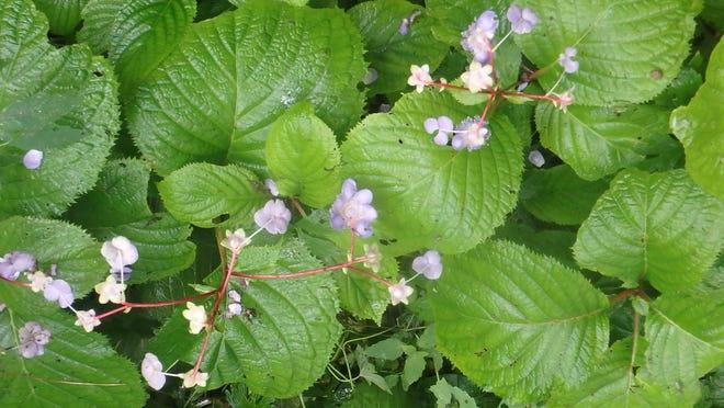 False hydrangea comes in blue or white blossoms.
