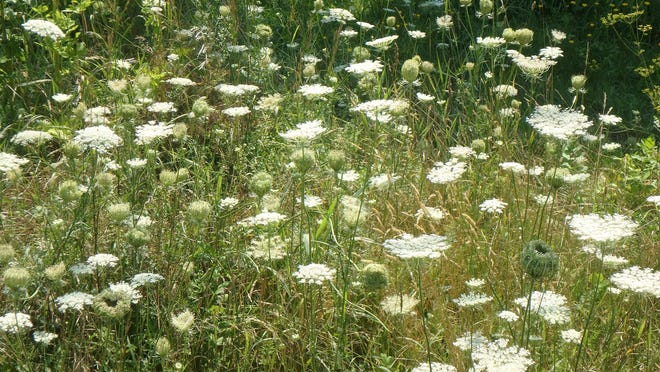 Queen Anne's Lace is loved by bees and other pollinators.