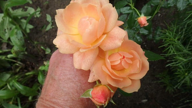 """At Last,"" a re-blooming hybrid developed by Proven Winters, is a Zone 5 rose that Henry has had for 4 years in Zone 4."