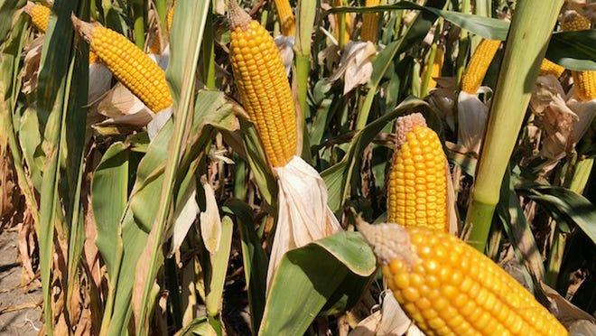 Ears of corn are shown in an area field last season.