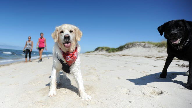 Finn, a golden retriever, and Jax, a black Labrador, take to Chapin Beach in Dennis in September 2019. Town officials have decided to stick with past practice of allowing dogs back on beaches after Labor Day, despite concerns that crowds will continue this year through September.