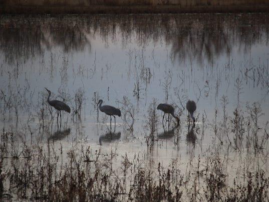 Sandhill cranes bosque del apache