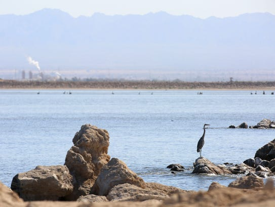 Birds forage along the shore of the Salton Sea on August