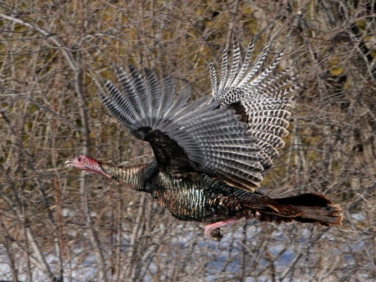 636468573381573311-Wild-turkey-flight-Wisconsin.jpg