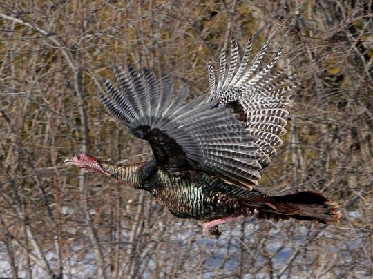 A wild turkey in flight.