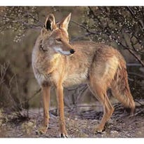 A coyote remains on the alert.