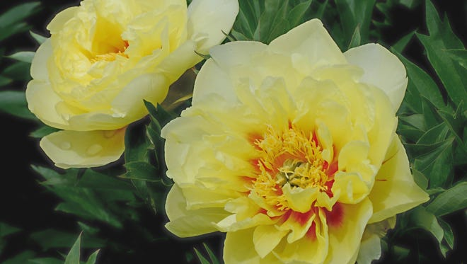 Adelman Peony Gardens, 5690 Brooklake Rd. NE., is celebrating grandma with free blooms 9 a.m. to 6 p.m. Saturday, June 7 and Sunday, June 8.