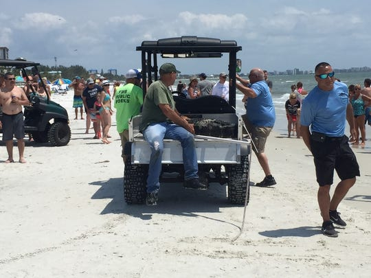 A 7.5-foot gator found swimming off Fort Myers Beach was captured and taken away on Thursday.