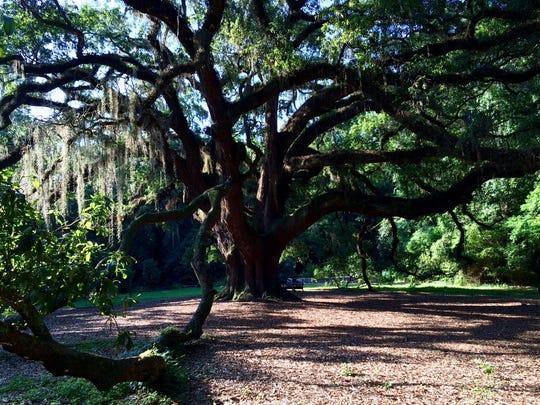 The Lichgate Oak.