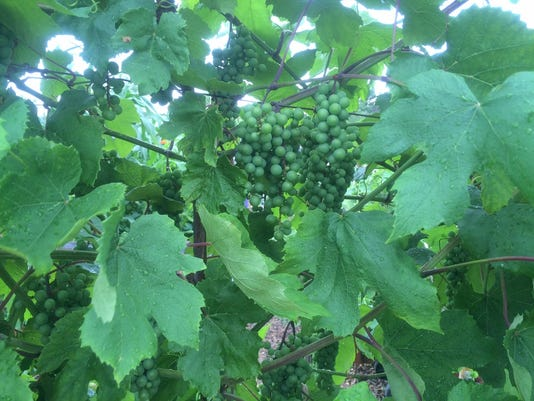 636047033660389085-07-25-2016-Grape-vine.JPG