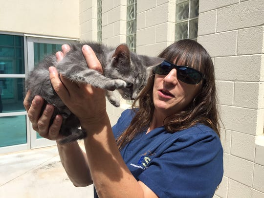 Karen Burden, the city's Animal Services shelter community cats coordinator, is trying to socialize Sapphire for adoption. The kitten was rescued from a shed in June.