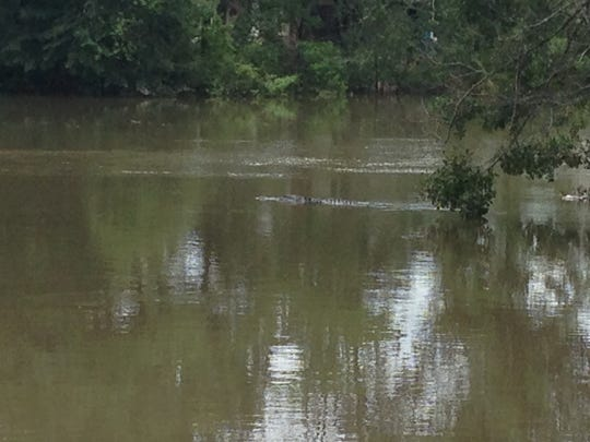 An alligator swims past the Domingue home on Water Oaks Drive in Lafayette.