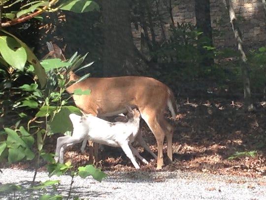 A whitetail doe deer nurses her piebald baby in Montreat.