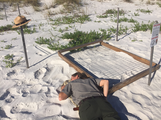 Cassity Bromley, a biologists with the National Park Service, listens for signs of hatching in a sea turtle nest.