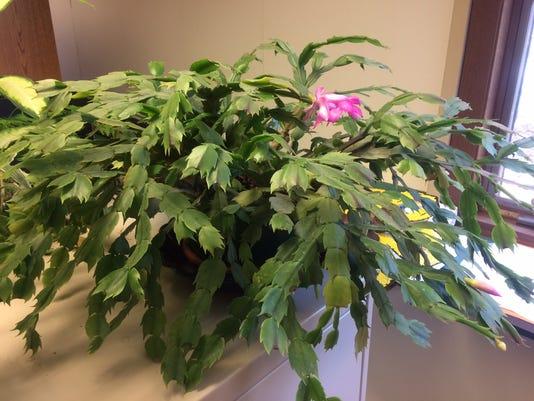 636149958143412787-11-21-2016-Christmas-cactus.JPG