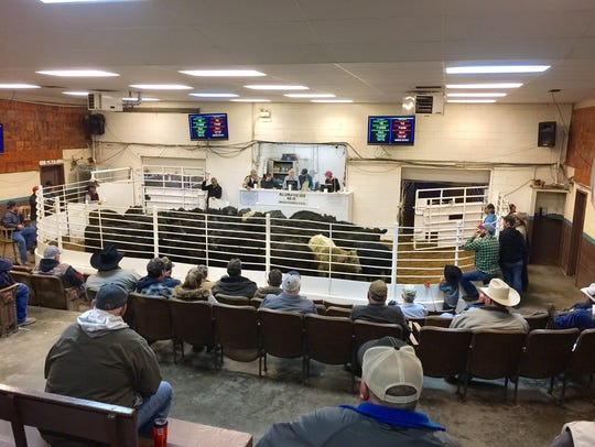 The weekly Friday cattle auction in progress.