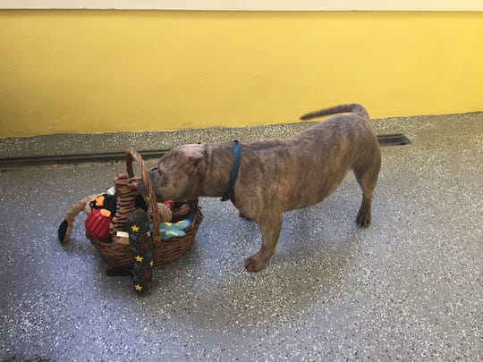 Fat Boy the pit bull found a forever home after APP's #puppylove social media campaign