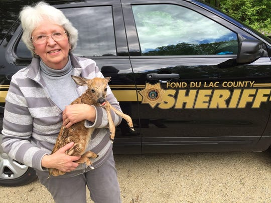 Judy Stephensen, a certified wildlife specialist near Slinger, picks up a newborn fawn that was saved by Fond du Lac County Sheriff's officers after the doe was hit and killed by a car crash.
